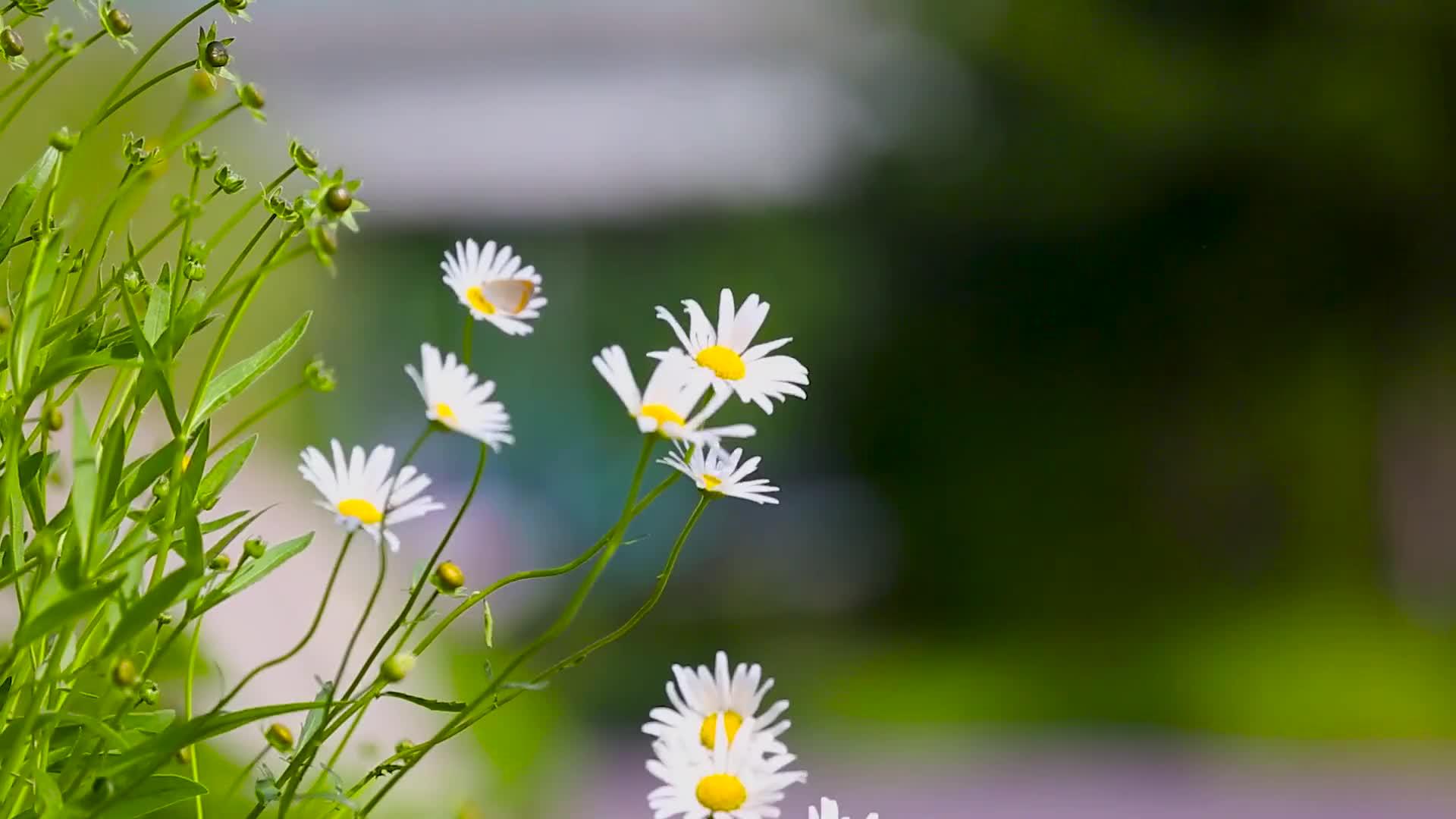 实拍太阳花花朵特写视频素材
